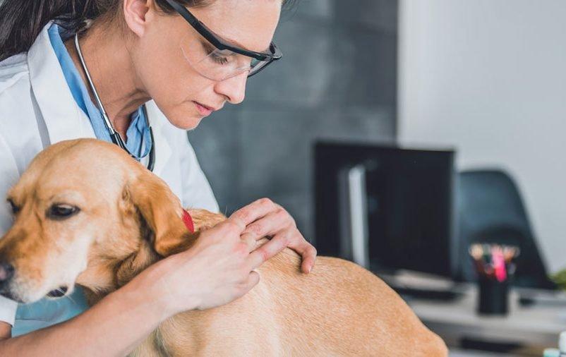 cão com doença do carrapato