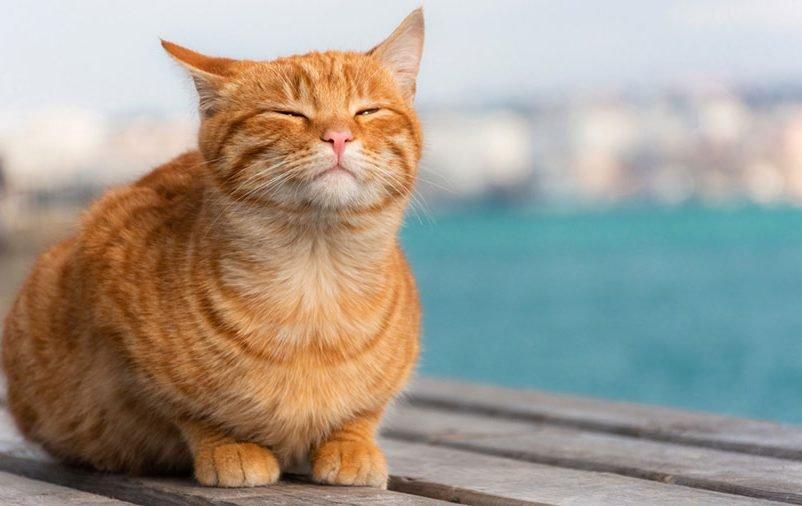 Gatinho amarelo com aparência tranquila próximo ao mar. Aprenda como deixar os gatos mais tranquilos aqui!